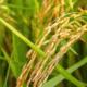 Improving farmers' livelihoods through better rice varieties - KASP project