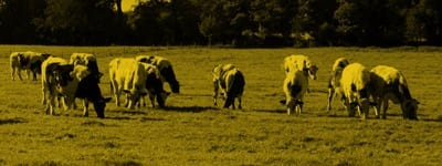 Grazing cattle | dairy innovation UK