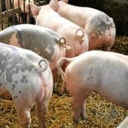 3D cameras to save pigs' tails