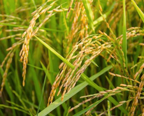 Improving farmers' livelihoods through better rice varieties - KASP project gene research genomic