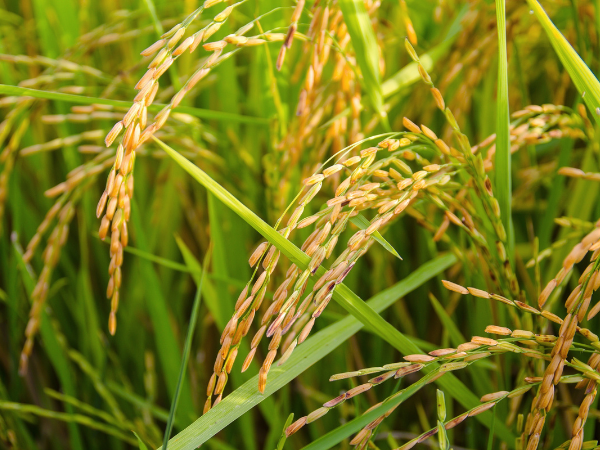 Improving farmers' livelihoods through better rice varieties - KASP project gene research genomic