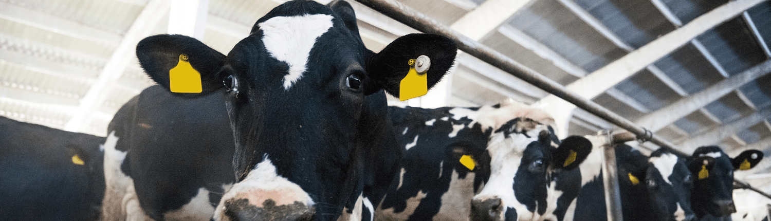 Precision Agricultural solution Well-Calf seeks to boost dairy-beef production
