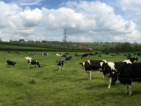 Precision grazing Dairy Farming