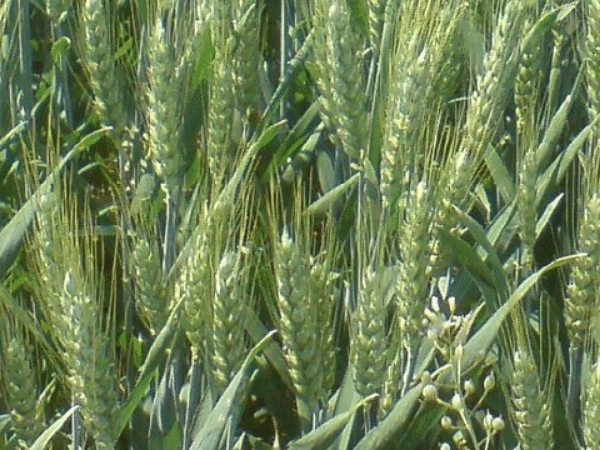Wheat yield prediction research BioSense Institute - RGB image