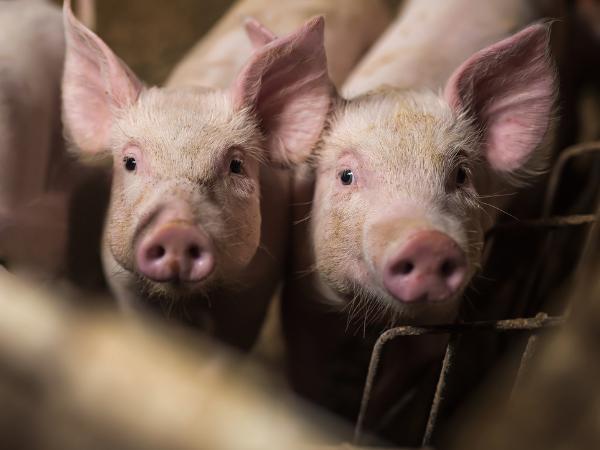 Agri-EPI Midlands Piggery pig welfare and productivity