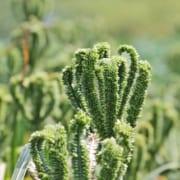 kenyan superfood smallholder sustainability | finger millet | Agri-EPI