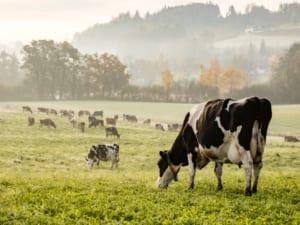 Healthy Heifer